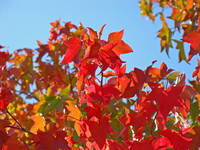AUTUMN LANDSCAPE Fall Art Red Leaves Blue Sky