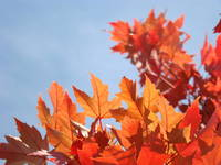 FALL ART Blue Sky Orange Sunlit Autumn Leaves