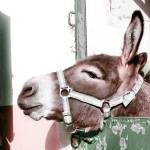 """Donkey"" by davidanderson"