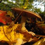 """Autumn Mushroom"" by waldeneffect"