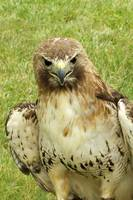 Stare of the hawk