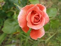 light orange rose