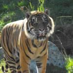 """Prowling Tiger"" by CharlesHarlan"