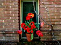 Tulips in the window