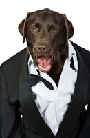 Shouting Labrador in Tuxedo. Top Dog