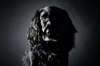 Low Key Cocker Spaniel