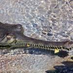 """Long nose croc"" by Dots"