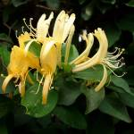 """""""Honeysuckle"""" by indiannes"""