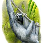 """Three-Toed Sloth"" by inkart"