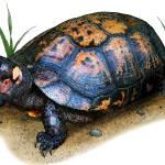 """Bog Turtle"" by inkart"