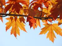 AUTUMN SKY Fall Art Sunlit Orange Leaves Baslee