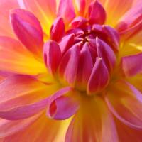"""DAHLIA FLOWER ART Prints Gifts Botanical Floral"" by BasleeTroutman"