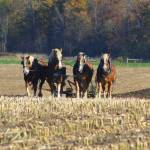 """Team of Horses Tilling the Fields"" by morningmist"