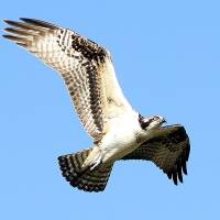 Osprey in Flight Art Prints & Posters by Wendy Relf