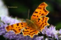 Comma Butterfly, (Polygonia c-album)
