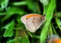 Meadow Brown Butterfly (Fractal)