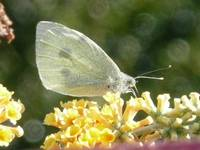 Small White Butterfly.