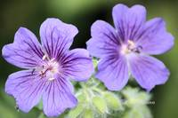 Perrenial Purple Geranium