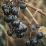 """""""blue berries"""" by jackimroczkowski"""