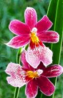 Two Red Orchids