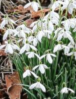 Open Snowdrops Fractal