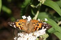 Painted Lady,Unedited.