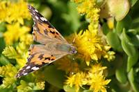 Painted lady On Sedum.