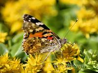 Painted Lady Profile