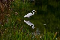 Egret in the Evening