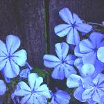 """Plumbago"" by Kirby"