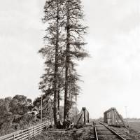 Palo Alto Tall Tree, by Watkins, c1870 Art Prints & Posters by WorldWide Archive