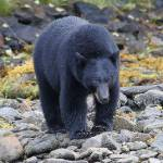 """Black Bear"" by featherphotos"