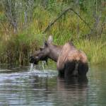 """alaska moose"" by featherphotos"