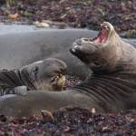 """Elephant Seals"" by featherphotos"