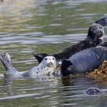 """Harbor Seals"" by featherphotos"