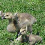 """Goslings 1"" by SharonANelson"