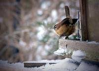 Carolina Wren - Oil Painting Effect