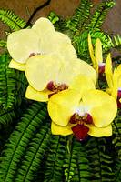 Yellow Orchids with Ferns