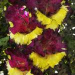 """""""Yellow and Purple Gladiola"""" by MindsEyeImagery"""