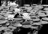 Water Lilies in BW