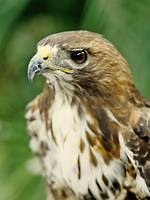 Red-shouldered Hawk Portrait
