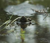 Snapping Turtle swimming