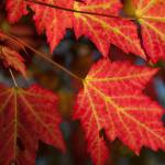 """Maple Leaves - Backlit"" by Trailheads"