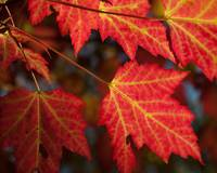 Maple Leaves - Backlit