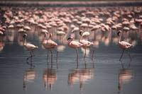 Flamingos of Nakuru