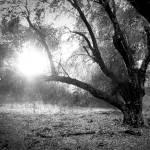 """Old Oak Tree"" by sherripaxton"