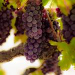 """Grapes on vine"" by chesman"