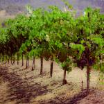 """Vineyard Dreams"" by chesman"