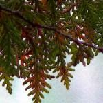 """""""Cedar"""" by idelisi"""