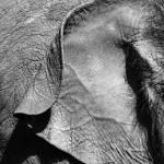 """""""Elephant ear"""" by KNKphotos"""
